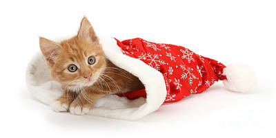 Photograph - Ginger Kit In Santa Hat by Warren Photographic