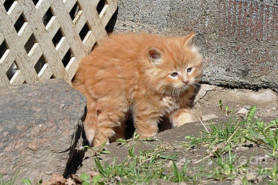Photograph - Ginger Kitten by Reb Frost
