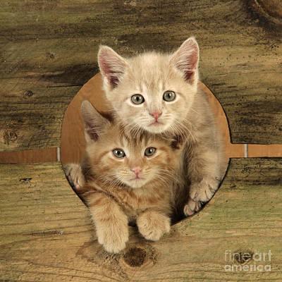 Ginger Kittens Art Print by John Daniels