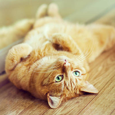 Big Belly Photograph - Ginger Lazy Cat by Oksana Ariskina