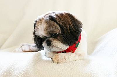 Shih Tzu Photograph - Ginger by Lena Auxier