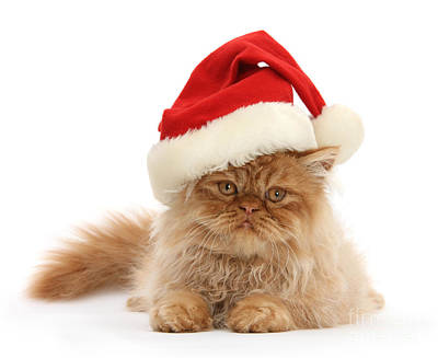 Photograph - Ginger Persian In Santa Hat by Warren Photographic