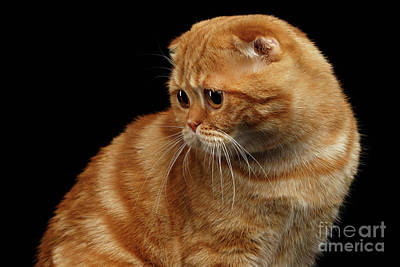 Ginger Scottish Fold Cat Looking Back Isolated On Black  Print by Sergey Taran