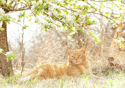 Photograph - Ginger Tabby And Apple Blossoms by Sari ONeal