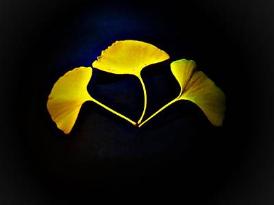Photograph - Ginkgo Biloba Leaves by Jennifer Baulch