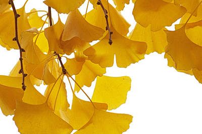 Fn Photograph - Ginkgo Ginkgo Biloba Leaves In Autumn by Aad Schenk