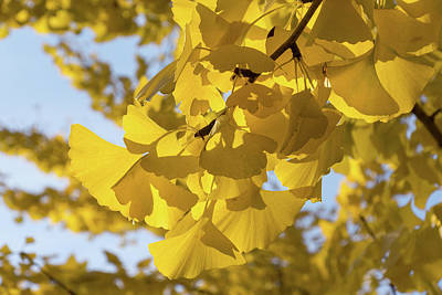 Photograph - Ginkgo Gold - Hl by Georgia Mizuleva
