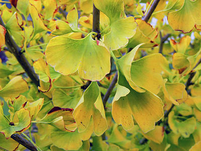 Ginkgo Gold Art Print by Pamela Patch