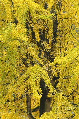 Photograph - Ginkgo Golds by Frank Townsley