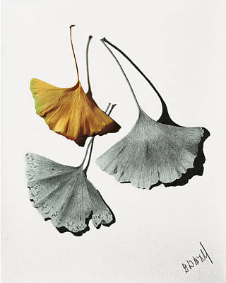 Pencil Drawing Mixed Media - Ginkgo Leaves by Garry McMichael