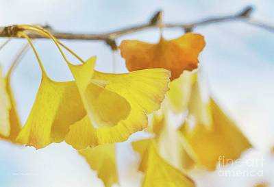 Photograph - Ginkgo Leaves by Jean OKeeffe Macro Abundance Art