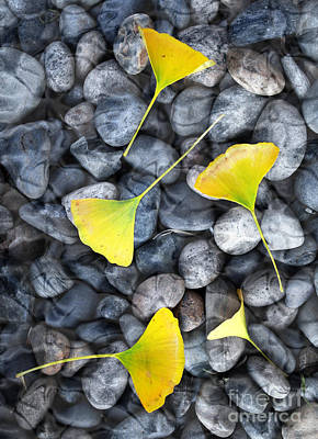 Autumn Landscape Photograph - Ginkgo Leaves On Gray Stones by Laura Iverson