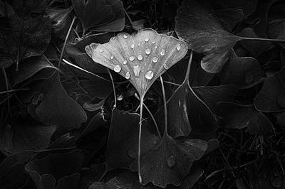Dew Photograph - Ginkgo by Scott Norris