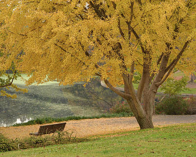Uc Davis Photograph - Ginkgo Tree In The Fall  by Alessandra RC
