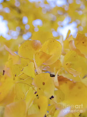 Photograph - Ginkgo Yellow Leaves by Andrea Anderegg