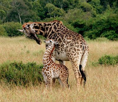 Kenya Digital Art - Giraffe - Mama And Baby by Nancy D Hall