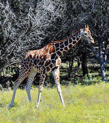 Photograph - Giraffe 1 by Inspirational Photo Creations Audrey Woods