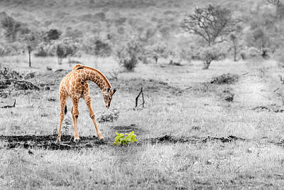 Photograph - Giraffe #1 by Tex Wantsmore