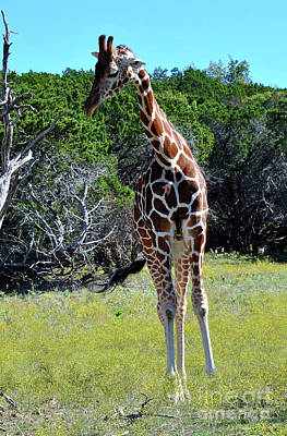 Photograph - Giraffe 2 by Inspirational Photo Creations Audrey Woods