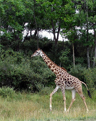 Giraffe 2 Art Print by George Jones