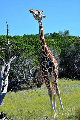 Photograph - Giraffe 3 by Inspirational Photo Creations Audrey Woods
