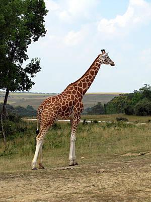 Giraffe 3 Art Print by George Jones