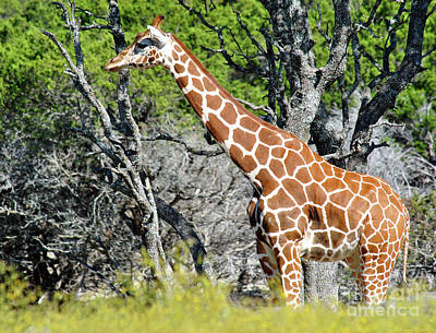 Photograph - Giraffe 4 by Inspirational Photo Creations Audrey Woods