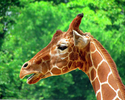 Photograph - Giraffe 4 by George Jones