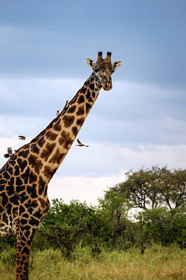 Photograph - Giraffe Adorned By Birds - Oxpeckers Or Tickbirds by Mary Lee Dereske