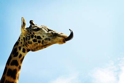 Photograph - Giraffe And Tongue by Marilyn Hunt