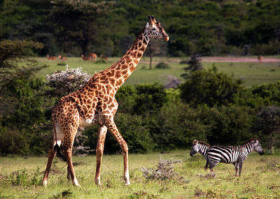 Photograph - Giraffe And Zebras by Michel Legare