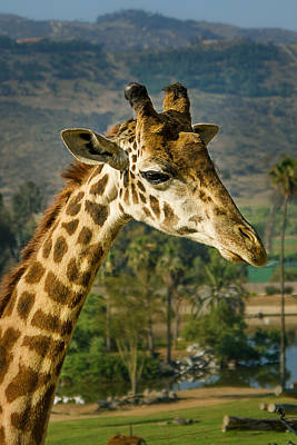 Photograph - Giraffe by April Reppucci