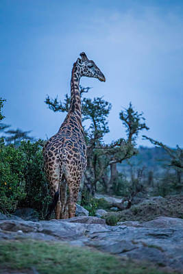 Giraffe At Sundown  Art Print