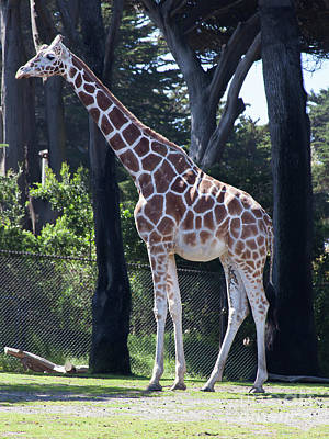 Photograph - Giraffe At The San Francisco Zoo San Francisco California 5d3140 by Wingsdomain Art and Photography