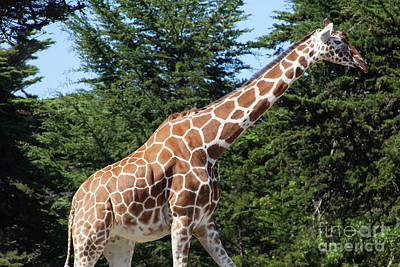 Photograph - Giraffe At The San Francisco Zoo San Francisco California 5d3145 by Wingsdomain Art and Photography