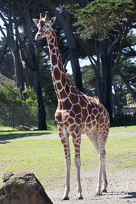 Photograph - Giraffe At The San Francisco Zoo San Francisco California 5d3153 by Wingsdomain Art and Photography