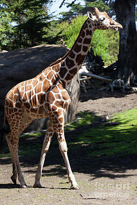 Photograph - Giraffe At The San Francisco Zoo San Francisco California 5d3163 by Wingsdomain Art and Photography