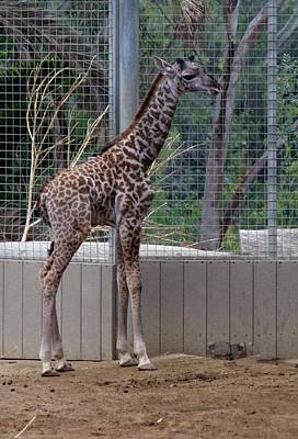 Photograph - Giraffe Baby Sd Zoo 2015 by Phyllis Spoor