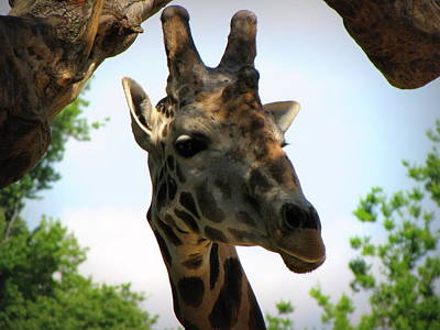 Art Print featuring the photograph Giraffe by Beth Vincent