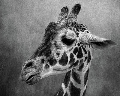 Photograph - Giraffe Black And White by Judy Vincent