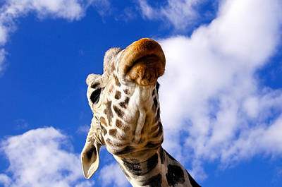 Photograph - Giraffe by Don and Bonnie Fink