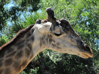 Photograph - Giraffe  by Chris Mercer