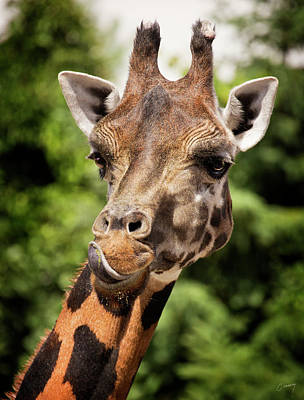 Christina Conway Royalty-Free and Rights-Managed Images - Giraffe  by Christina Conway