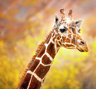 Photograph - Giraffe Large Canvas Art, Canvas Print, Large Art, Large Wall Decor, Home Decor, Wall Art by David Millenheft