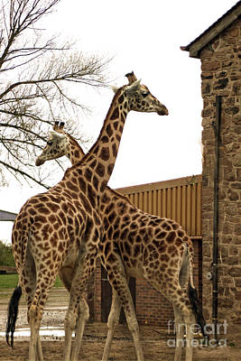 Photograph - Giraffe by Doc Braham