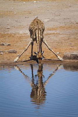 Photograph - Giraffe Drinking by Randy Green