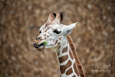 The Who - Giraffe Eating Grass by Leslie Banks