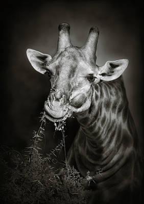 Animals Photos - Giraffe eating by Johan Swanepoel