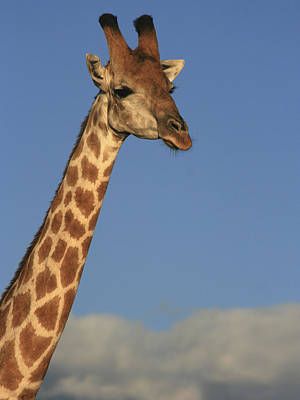 Photograph - Giraffe Encounter by Karen Zuk Rosenblatt