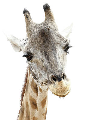 Photograph - Giraffe Face by Athena Mckinzie